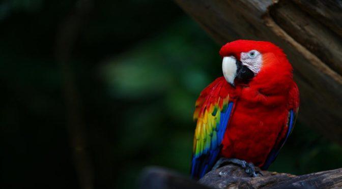 Hva i alle verden har papegøyer å gjøre med kunnskap og ledelse?